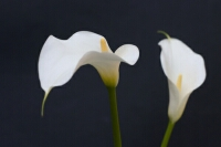 Photograph of two Lillies