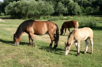 Image of a horse grazing