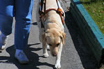 Image of a guide dog